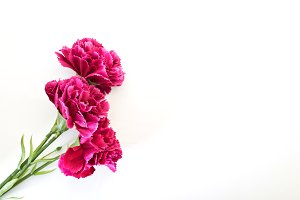 8 March Women's day Carnation