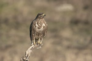 buteo, common, buzzard,