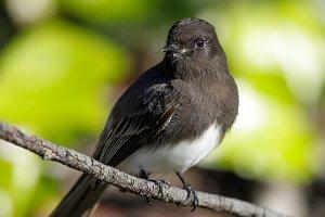 Black Phobe (white-winged) adult