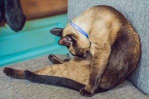 beautiful cute cat licking his paw