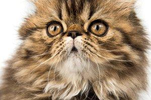 Beautiful Persian kitten cat muzzle