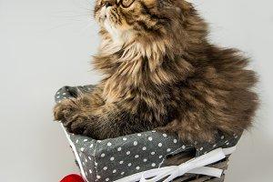 Beautiful Persian kitten cat with