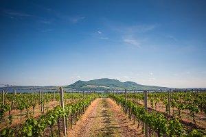 Pálava Hills Wine Scenery, Czech Rep