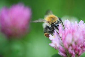 Bumblebee on Clover Close Up