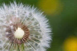 Half-Naked Flower Blowball/Dandelion