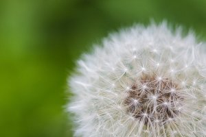 Blowball/Dandelion Close Up