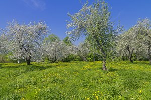 Old apple orchard during flowering