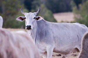 Australian cow