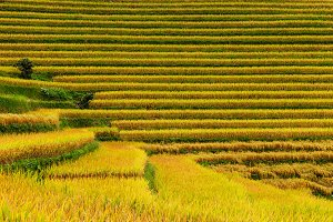 Close-up view of the rice paddies, S