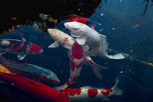 Colorful fancy carp fish Japan