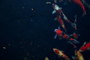 colorful koi fish in pool