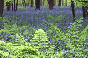 Green ferns and bluebells flowers