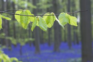 Fagus leaves in springtime forest