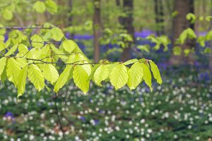 Beech tree new leaves in spring