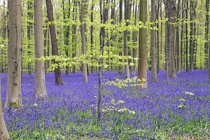 Springtime in the blue forest