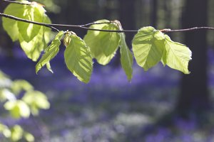 Beech tree new foliage in spring