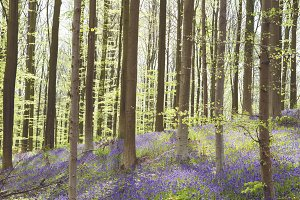 Springtime forest with bluebells