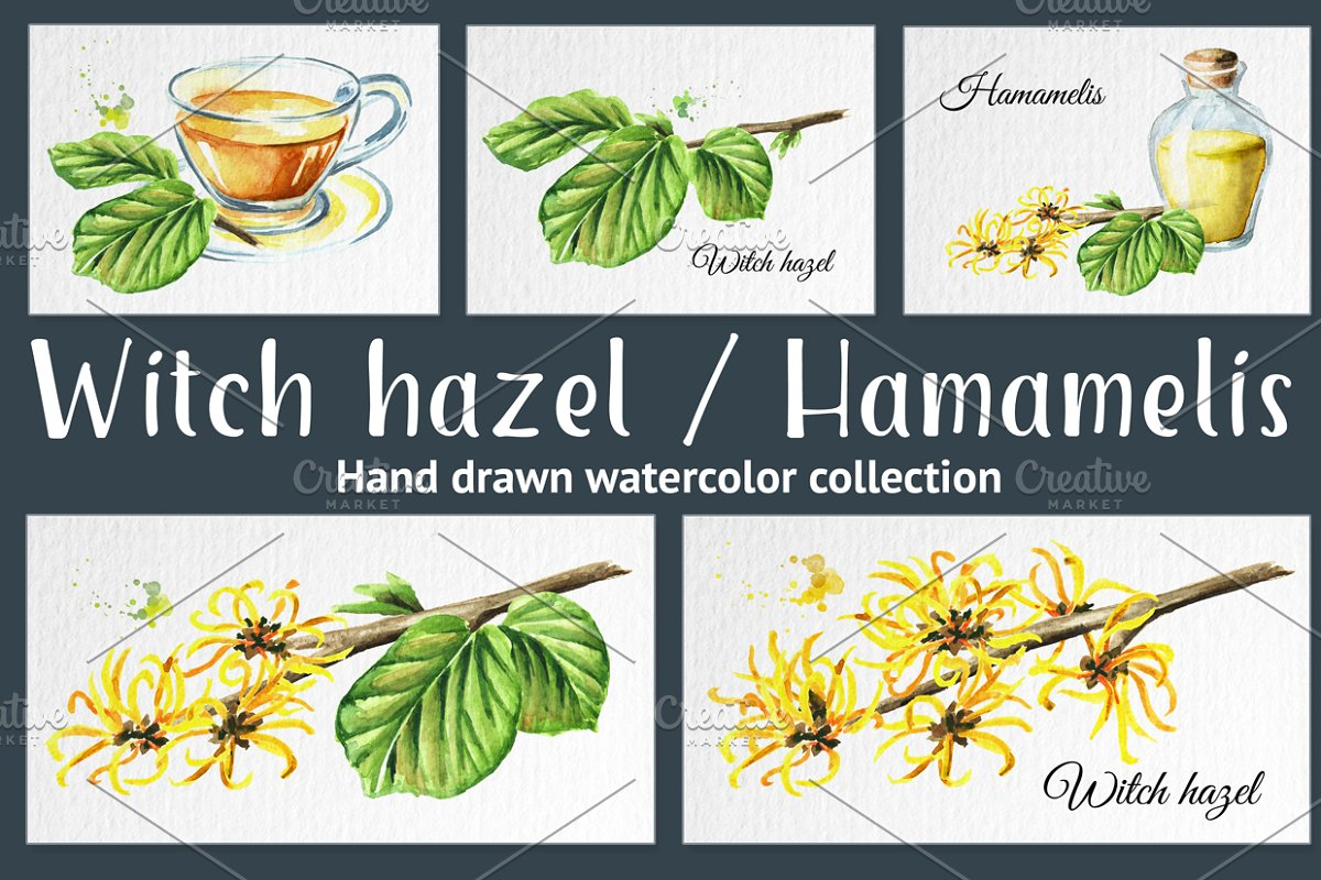 Witch Hazel Hamamelis Custom Designed Illustrations Creative