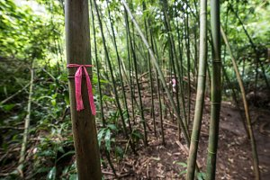Route tree marks on bamboo trail