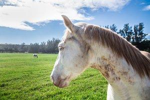 White horse head close-up