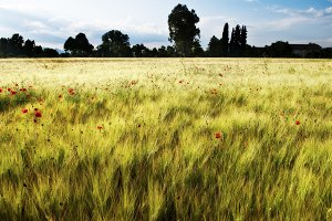 Gold Wheat flied with poppies,