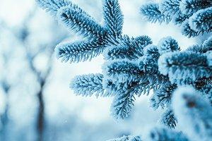 frozen spruce in hoarfrost in winter