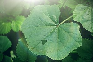 Green Leaf, Heart, Nature