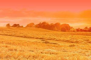 Sunset Golden Field
