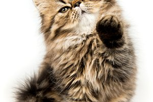 Beautiful Persian kitten cat marble