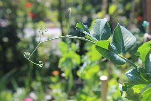 Garden Pea Shoot