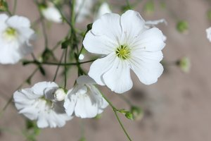 White flower gypsophila