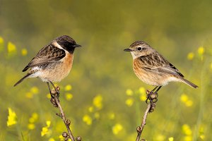 Couple of stonechats in the nature