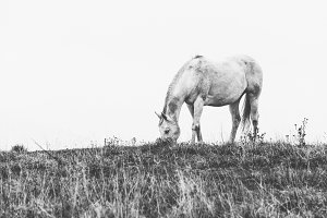 Horse Grazing the Grass