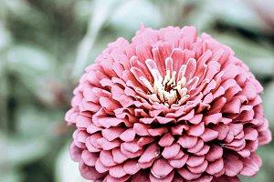 Pink Zinnia Flower up close
