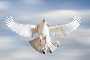 sacred white dove spread its wings
