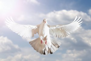 white dove symbol of freedom in the