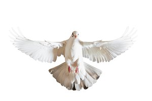 white dove with spread wings