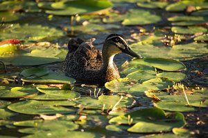 Duck swimming on the pond.