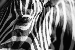 Abstract Real Zebra Stripes