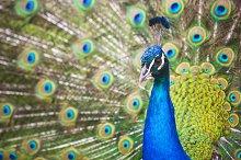 Beautiful Peacock Portrait #1