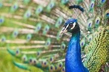 Beautiful Peacock Portrait #2