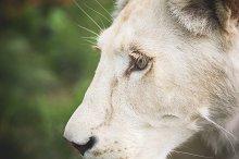 Eye of a White Lion