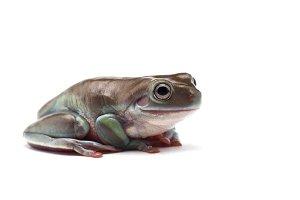 blue Giant flying frog