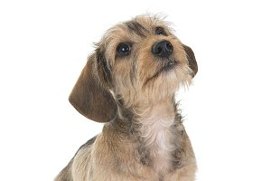 Wire-haired dachshund pup looking up