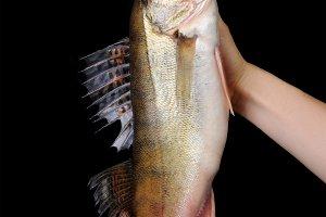Raw fish pike perch