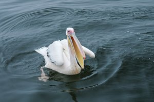 Swimming great white pelican in the