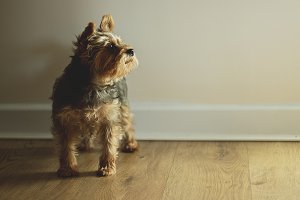 Fluppy Dog Portrait