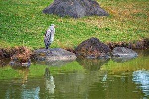 Grey heron (Ardea cinerea) on stone
