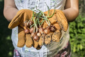 Hands hold plant bulbs in a garden