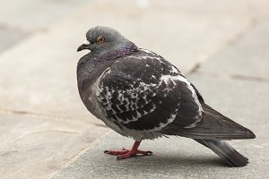 Pigeon on Footpath
